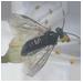 Plum Wasp
