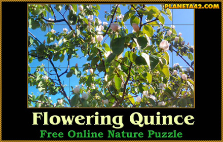 Quince Blossom Tree