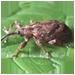 Apple Weevil